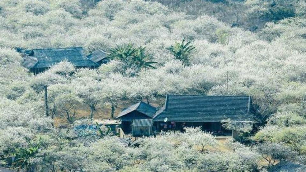 Thiên đường hoa trắng Mộc Châu