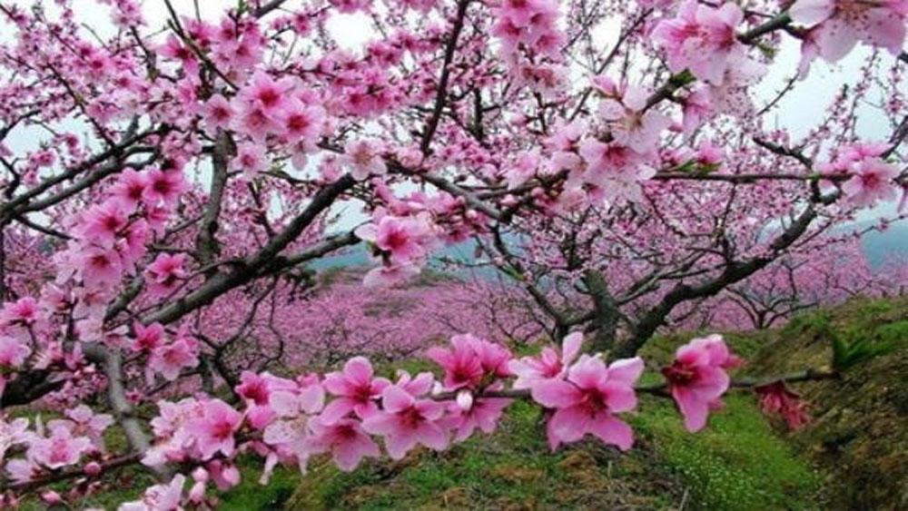 Đến Sơn La trải nghiệm ngày hội hoa đào 2018