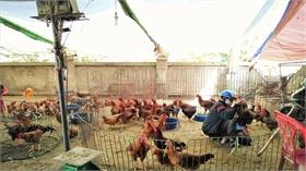 Bộ Y tế đề nghị ngăn chặn, kiểm soát chặt chẽ buôn bán gia cầm qua biên giới