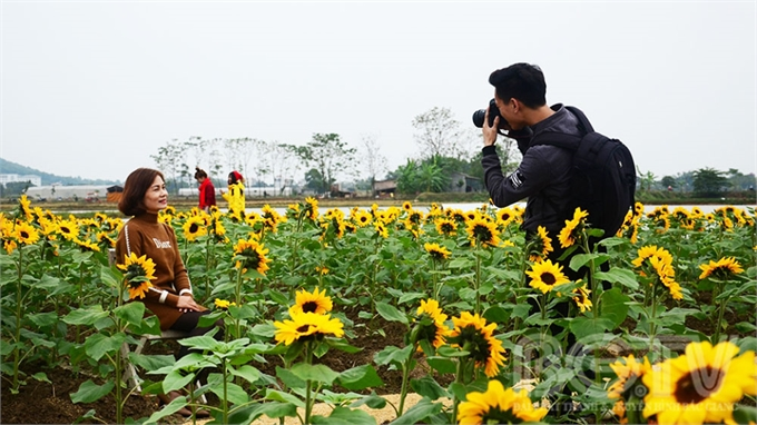 Sức hút từ cánh đồng hoa hướng dương