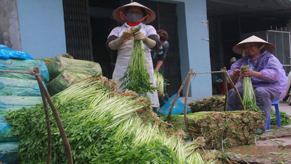 Giá rau cần Hoàng Lương đang ổn định ở mức 9 nghìn đồng/kg