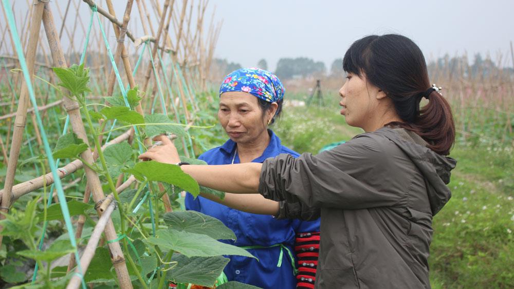 Hợp tác xã rau sạch Yên Dũng nâng chất lượng sản phẩm, mở rộng thị trường