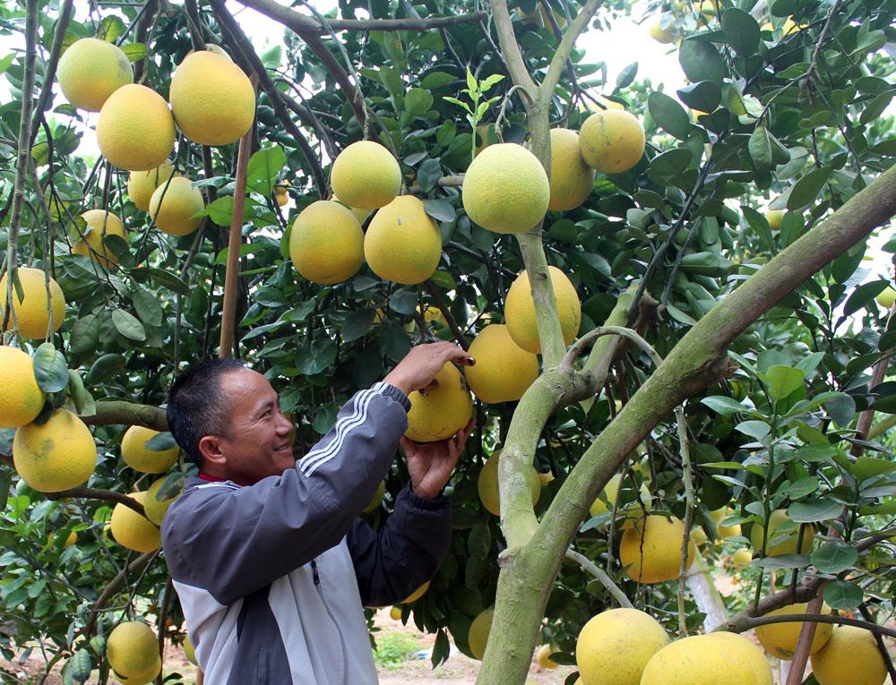 Nông dân xã Quý Sơn (Lục Ngạn) thu hoạch bưởi ngọt.