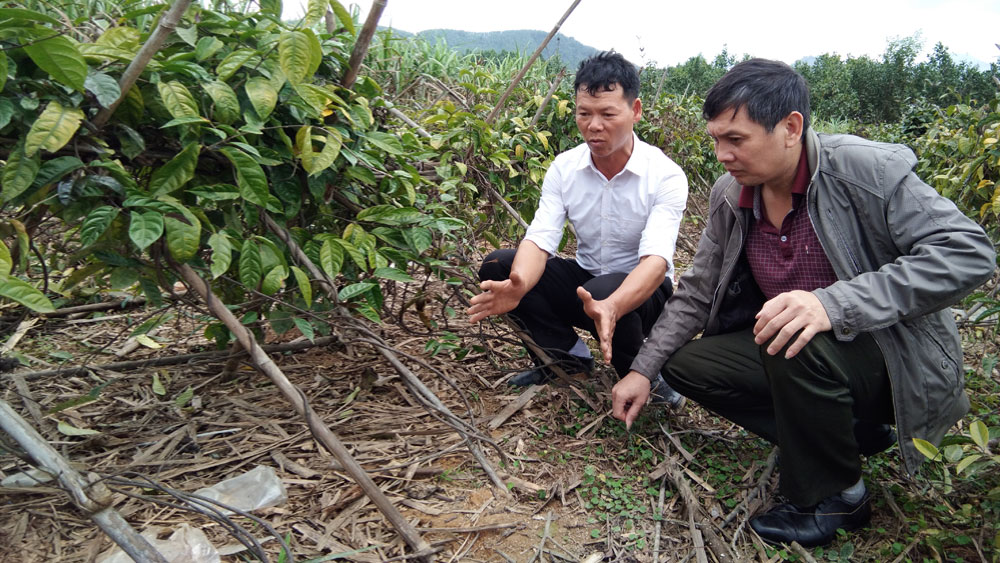 Phát triển cây bản địa, dược liệu dưới tán rừng: Tạo sinh kế, thu nhập cho người dân
