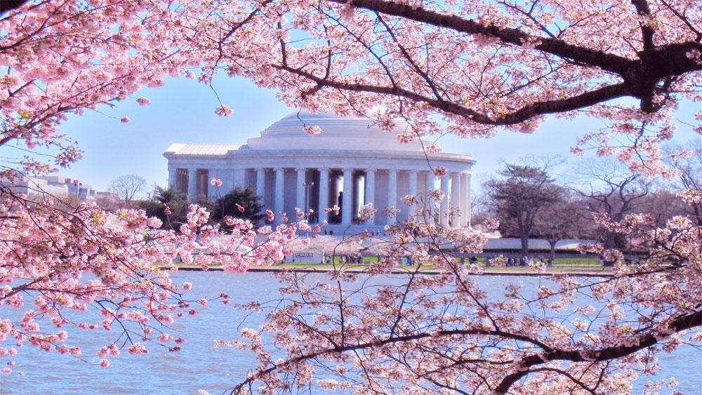 Một nước Mỹ thật khác trong mùa hoa anh đào