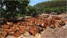 Giá gà đồi Yên Thế tăng trong dịp Tết