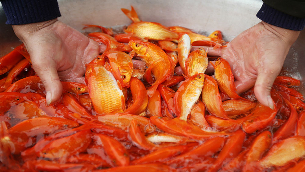 Red carp ready to give Kitchen Gods a ride back to heaven ahead of Tet
