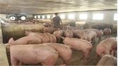 Thịt lợn hữu cơ được nhiều người lựa chọn
