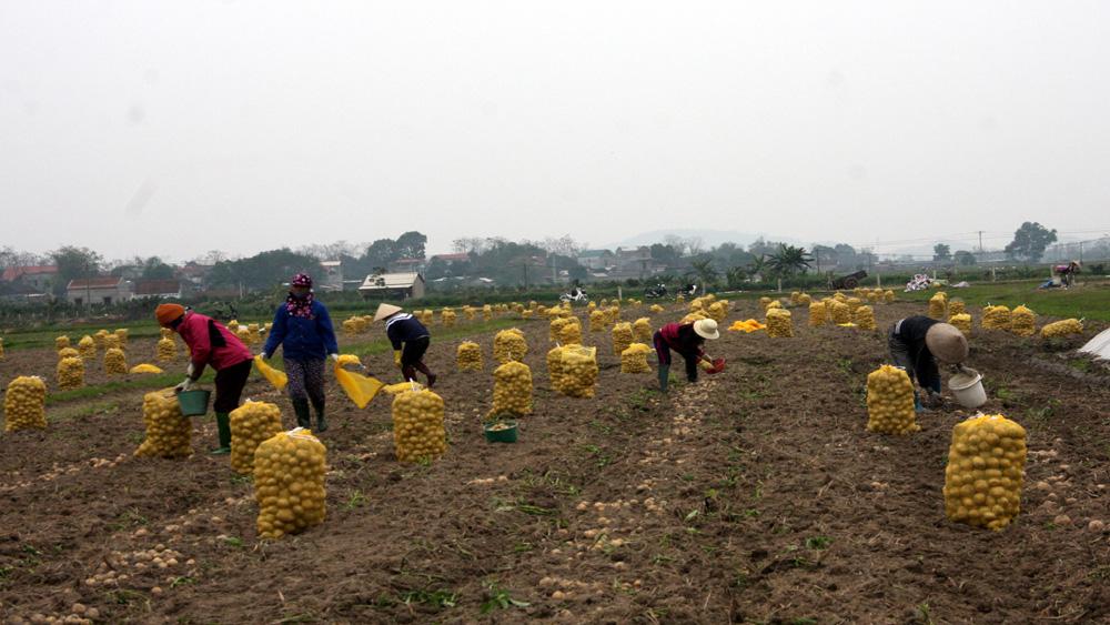 Việt yên, khoai tây, hơn 6 triệu đồng