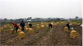 Thu gần 6,5 triệu đồng/sào khoai tây