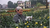 Thu lãi cao từ trồng hoa Tết