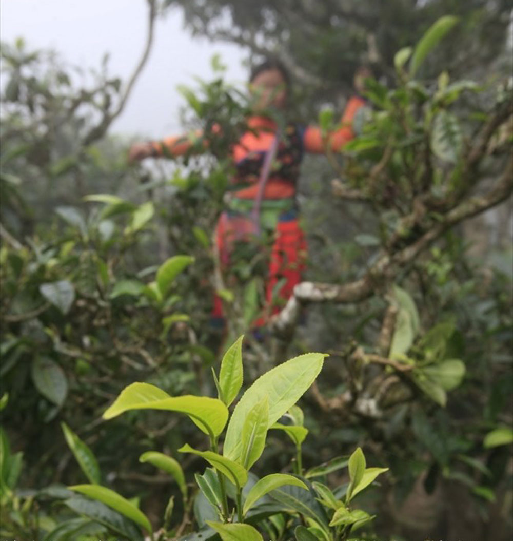 Ta Xua commune, Son La commune, 100-year-old, Shan tuyet tea, specially delicious taste, one-bud-two-leaves' tea, best quality