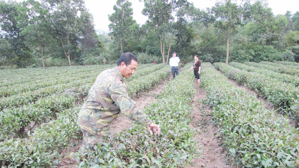 Bac Giang expands 100 hectares of safe Bat Tien tea growing area