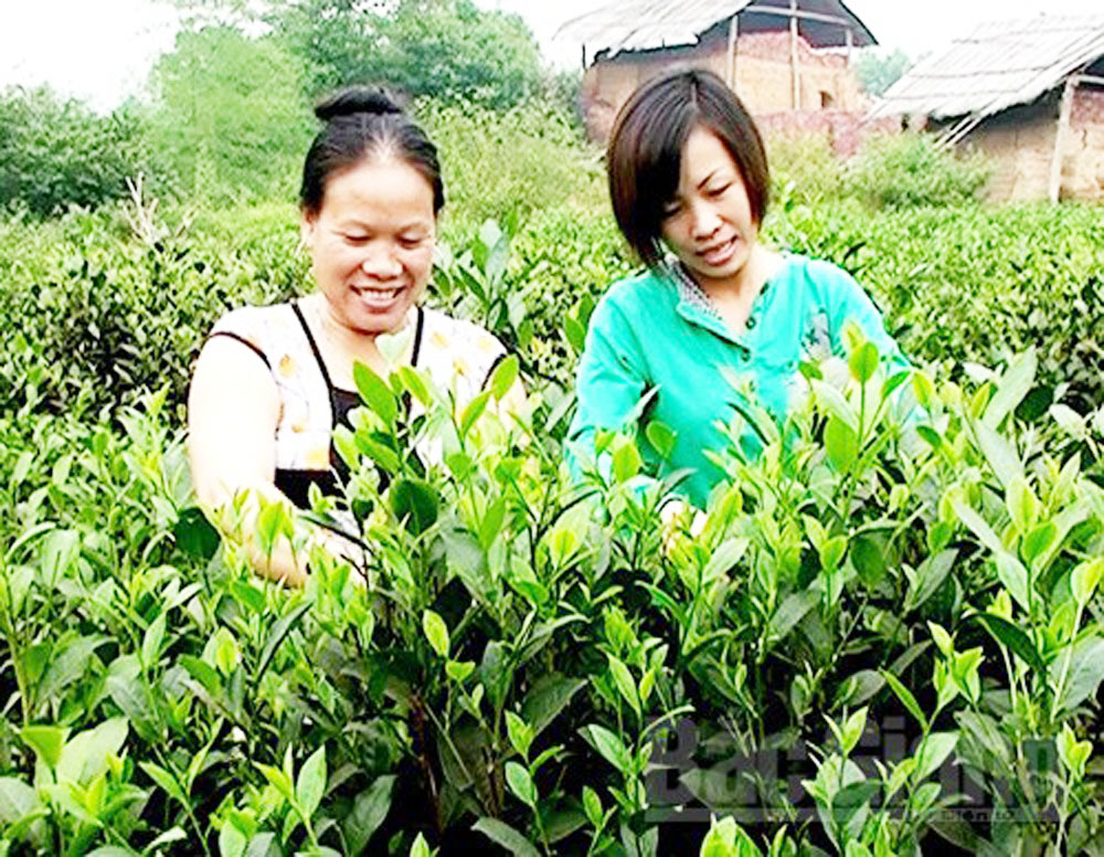 Bac Giang province, safe farming model, Bat Tien tea, safe procedure, district localities, project participants, free fertilzers, Area expansion, safe cultivation method