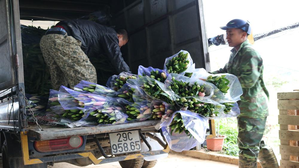 Giá hoa giảm mạnh, chỉ còn 6-8 nghìn đồng/cây hoa ly