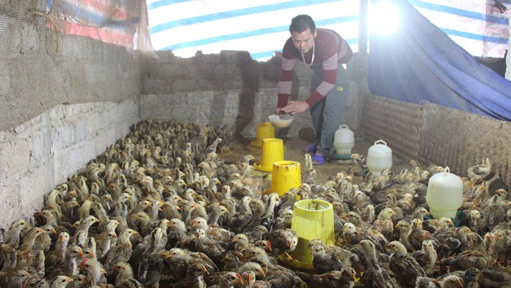 Tái đàn chăn nuôi: Chú trọng con giống, sản xuất theo chuỗi