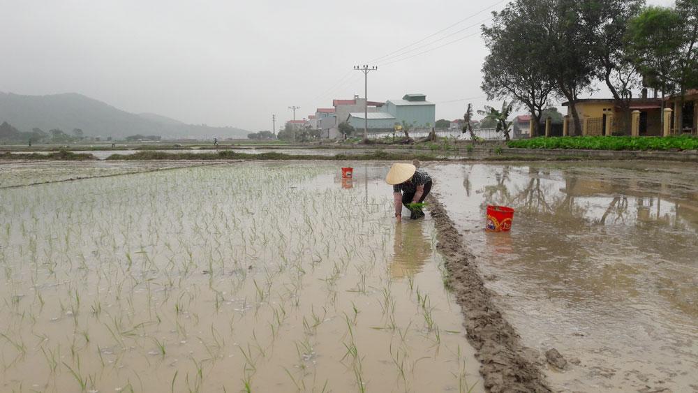 Chú trọng gieo cấy lúa chất lượng, lúa thơm