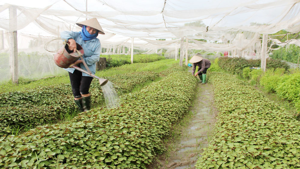 Bac Giang supports safe vegetable farming cooperative