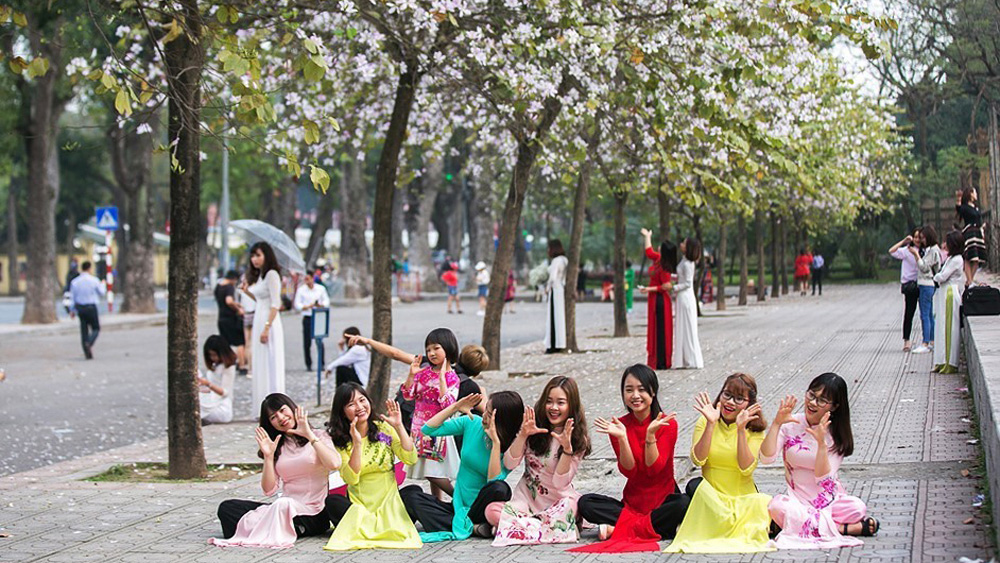 Hoa ban, Hà Nội, Tây Bắc, nở rộ