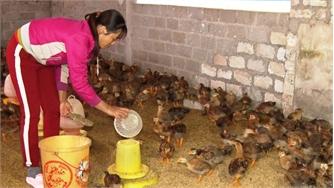 Yên Thế vào đàn tăng gần 5 nghìn con gà