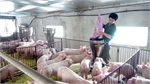 CP TPP to bring both opportunities, challenges to breeding sector