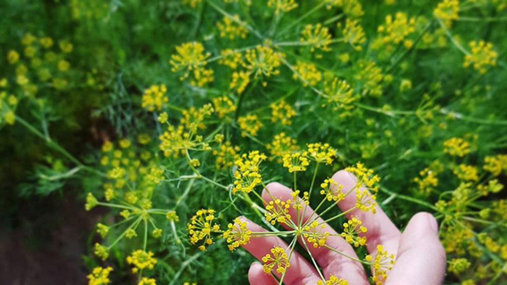 Vẻ đẹp của cánh đồng hoa thì là gây sốt ở Ninh Thuận