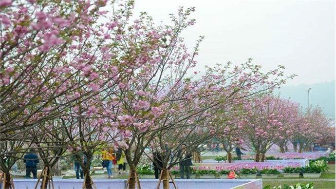 Sakura blossoms on display at VN-Japan cultural festival this weekend