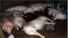Phát hiện một cơ sở bơm nước, tiêm thuốc an thần cho lợn trước khi giết mổ