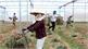 Sản xuất nông nghiệp công nghệ cao: Liên kết vẫn lỏng lẻo