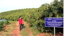 Tan Yen strives to grant new VietGAP certificate to early ripen lychee growing area