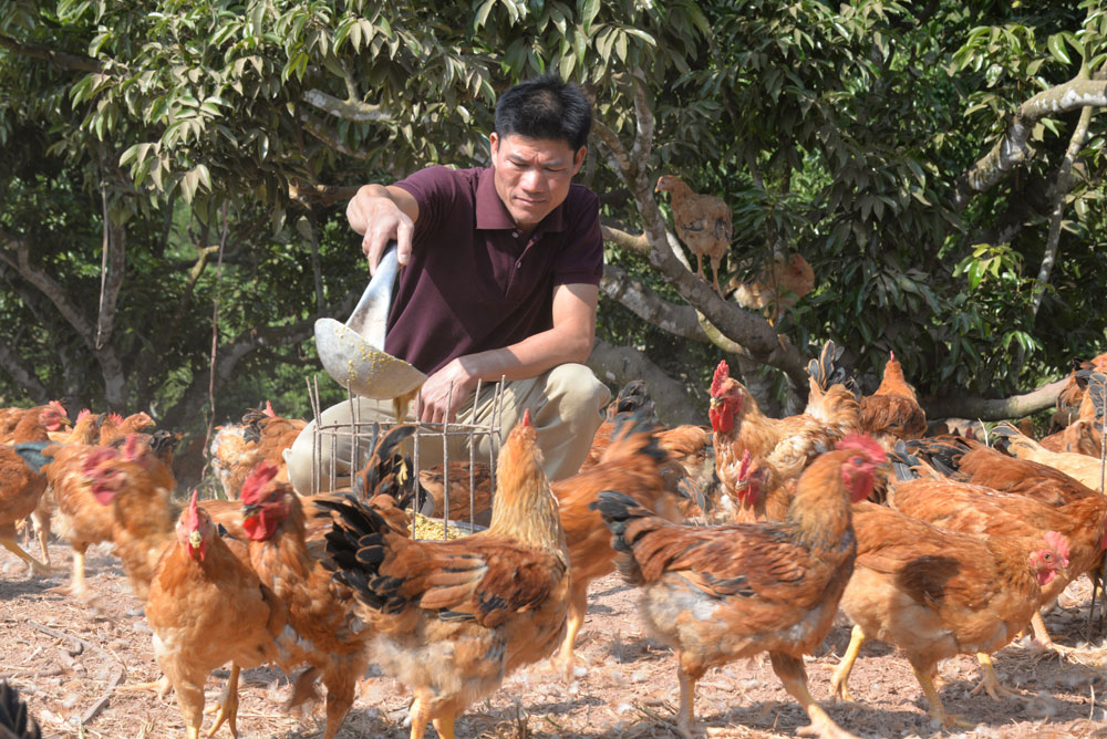 Bac Giang province, trademark,  Yen The hill chicken, chicken flock, local chicken breeding households, product quality,  safe clean chicken, clear origin