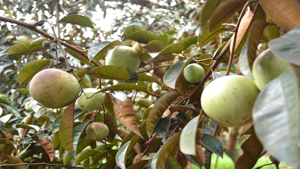 Tan Yen yields about 160 tonnes of star apple fruits