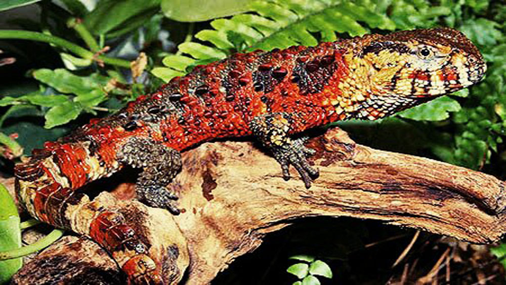 Crocodile lizard, Tay Yen Tu area, risk of extinction, Bac Giang province, commercial purpose, natural samples, Natural Conservation Area, IUCN Red List