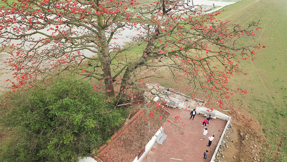 Red cotton trees in full bloom across northern Vietnam