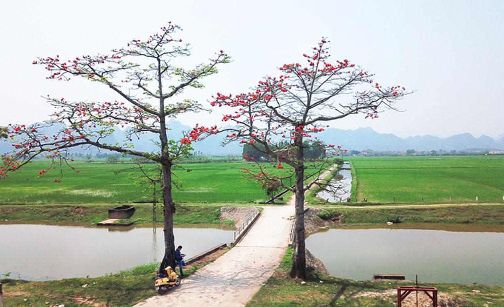 Red cotton trees, full bloom, northern Vietnam, red flowers, end of cold days, start of summer