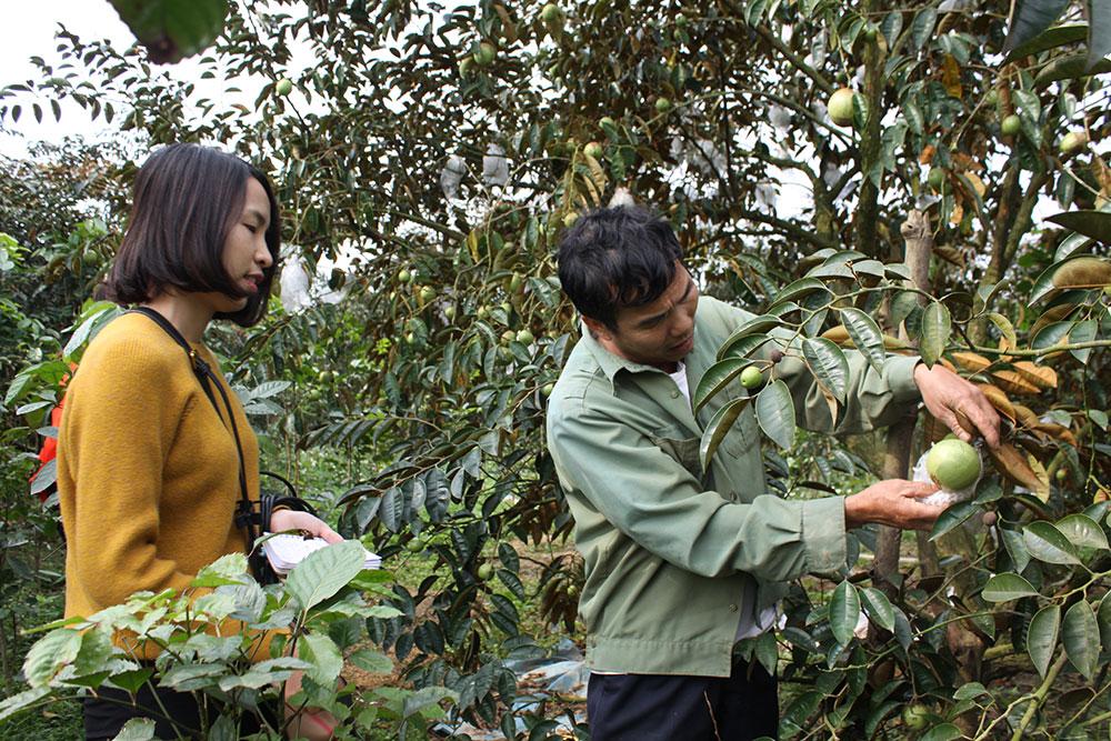 Tuyển chọn, nhân giống vú sữa ở Tân Yên: Mở hướng thâm canh, nâng thu nhập