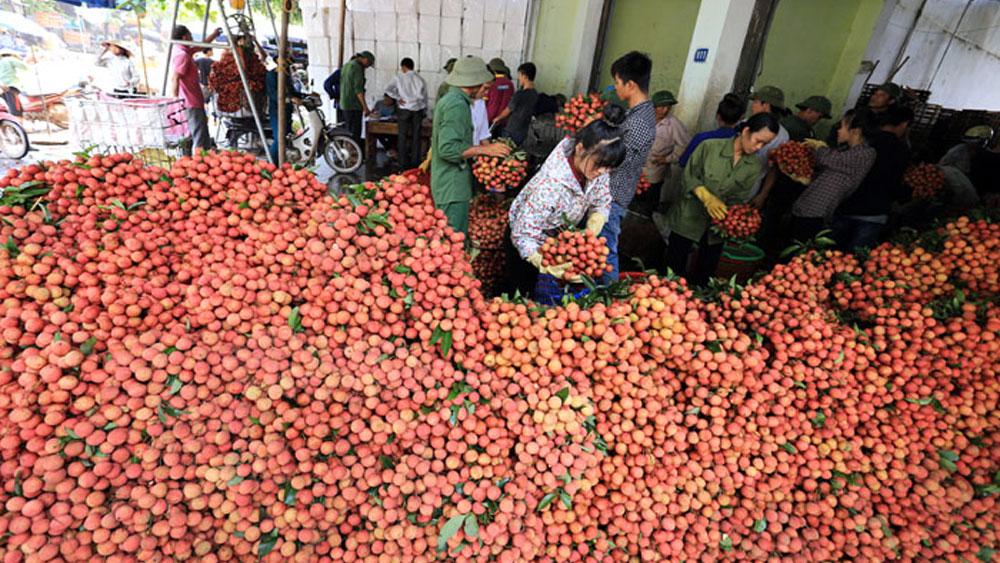 Thương nhân Trung Quốc thu mua vải thiều tại Lục Ngạn. Ảnh tư liệu