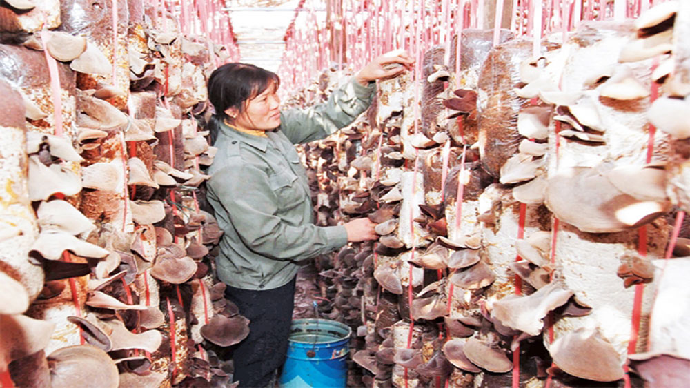 Bac Giang encourages mushroom growing linkage chain
