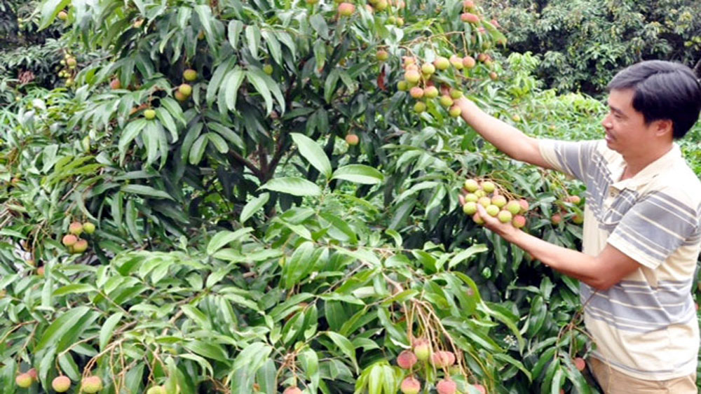 High fructiferous rate, early ripen lychee, Bac  Giang province, Tan Yen district, favorable weather condition, fruit bearing rate, Viet GAP process, origin traceability