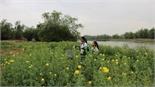 Quyến rũ hoa vàng ven sông