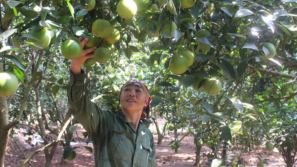 Mô hình trồng cam lòng vàng của gia đình hội viên Vũ Thị Thìn, thôn Đồng Quýt, xã Tân Mộc mỗi năm thu nhập khoảng 2 tỷ đồng. Ảnh: Đức Thọ.