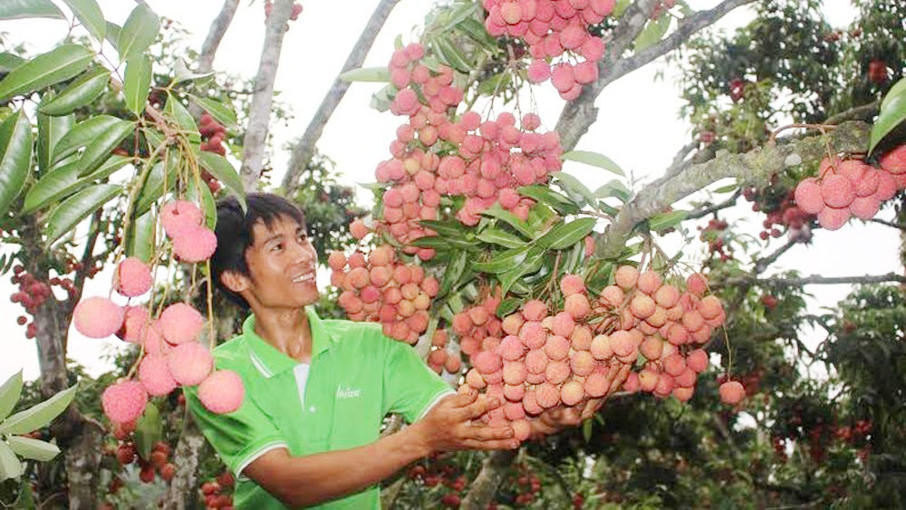 Hai Duong's first lychees of season to enter market