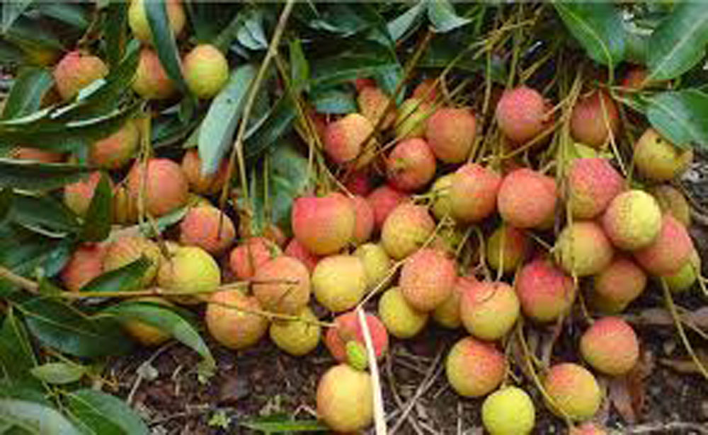 Hai Duong province, lychee season, first crop, flowering and matured fruit,  bumper crop, total area, total output, VietGAP standards