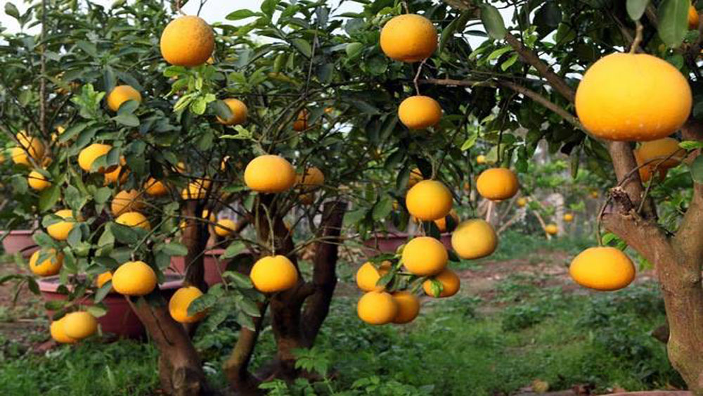 Hi-tech fruit cultivation area built in Luc Ngan district