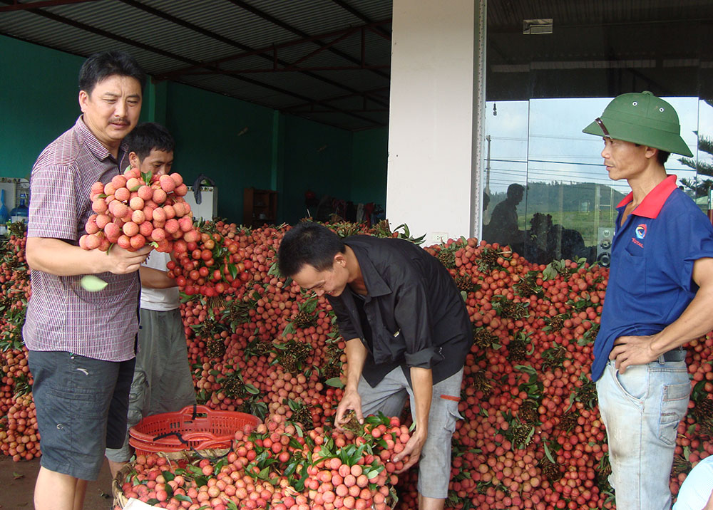 Bac Giang province, litchi production,  export demand, local farmers, VietGAP, GlobalGAP standards, stamps of origin, positive signals, bumper litchi crop, foreign markets