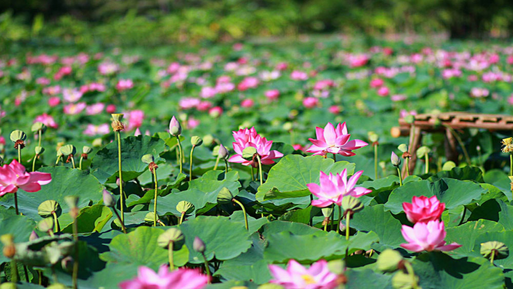 Summer treat: Lotus fields enchant visitors in central Vietnam