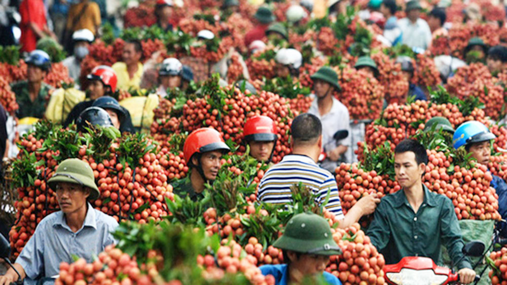 Vietnam, gearing up, lychee and longan harvests, domestic market and abroad,  bumper crop, respective yields, lychee promotion events