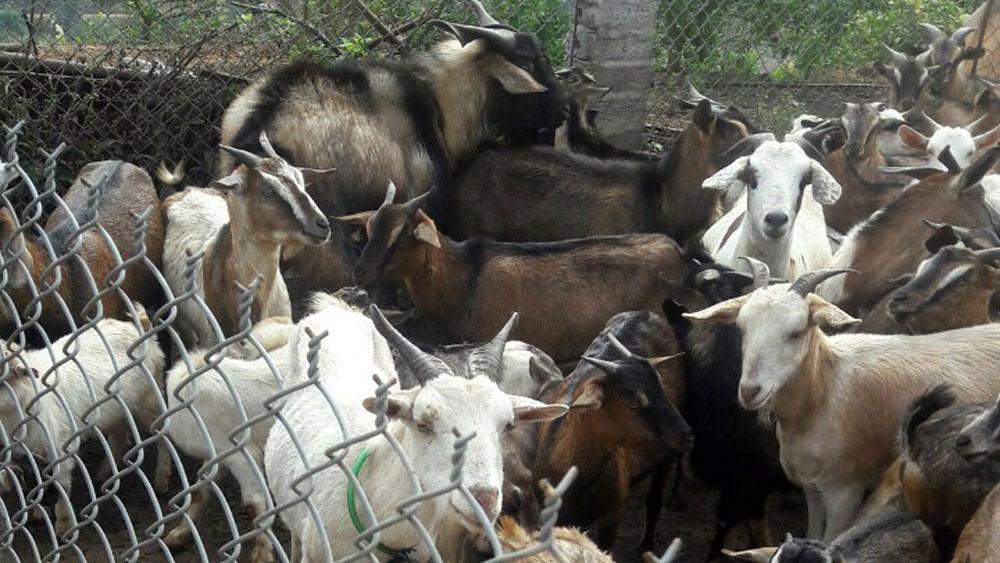 Xây dựng thương hiệu cho đàn gia súc ở Lục Ngạn