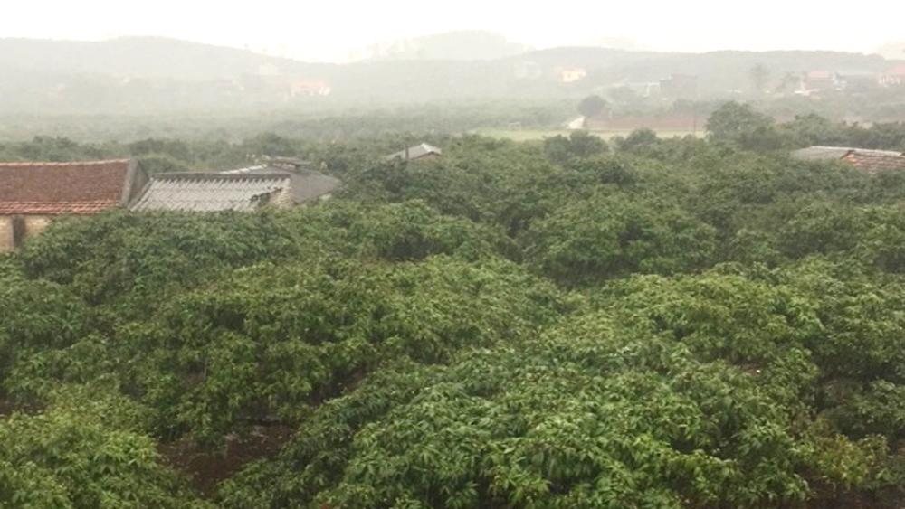 Mưa rào trên diện rộng, giải hạn cho hàng nghìn ha cây trồng