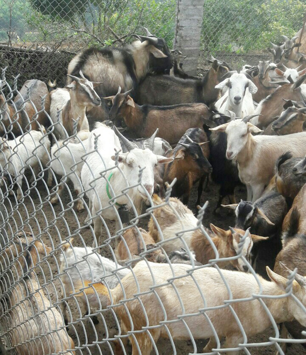 Building trademark, Luc Ngan cattle, Bac Giang province, famous fruits, cattle breeding, domestic animal herds, Low cost, high profit, family income, livestock husbandry,  animal husbandry